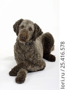 Купить «Brown sheared Standard Poodle lying down with paws crossed», фото № 25416578, снято 21 июля 2018 г. (c) Nature Picture Library / Фотобанк Лори