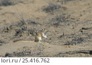 Купить «Giant / Mongolian gerbil (Meriones unguiculatus) in the Chinese desert. September 2006», фото № 25416762, снято 20 января 2018 г. (c) Nature Picture Library / Фотобанк Лори