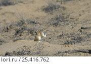 Купить «Giant / Mongolian gerbil (Meriones unguiculatus) in the Chinese desert. September 2006», фото № 25416762, снято 20 апреля 2018 г. (c) Nature Picture Library / Фотобанк Лори
