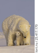 Купить «polar bear, Ursus maritimus, sow with newborn spring cubs newly emerged from their den, mouth of Canning River along the Arctic coast, eastern Arctic National Wildlife Refuge, Alaska», фото № 25417170, снято 6 июня 2020 г. (c) Nature Picture Library / Фотобанк Лори