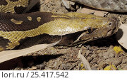 Купить «Blood Python (Python curtus) Captive, native to SE Asia», фото № 25417542, снято 21 сентября 2019 г. (c) Nature Picture Library / Фотобанк Лори
