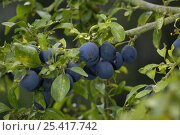 Купить «Damsons (Prunus domestica insititia), UK», фото № 25417742, снято 27 мая 2018 г. (c) Nature Picture Library / Фотобанк Лори