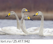 Купить «Whooper Swan (Cygnus cygmus) four on water,  Liminka, Finland, May», фото № 25417942, снято 16 декабря 2018 г. (c) Nature Picture Library / Фотобанк Лори