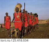 Купить «Masai warriors in full ceremonial dress, entering village in a line, to dance. Masai Mara National Reserve, Kenya», фото № 25418034, снято 17 августа 2018 г. (c) Nature Picture Library / Фотобанк Лори