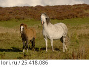 Купить «Domestic Pony / Horse {Equus caballus} mare with foal, Long Mynd, Shropshire, UK», фото № 25418086, снято 17 августа 2018 г. (c) Nature Picture Library / Фотобанк Лори