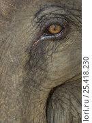 Купить «Close up of Indian elephant eye (Elephas maximus), captive used by anti-poaching patrol, Alaungdaw Kathapa National Park, Burma (Myanmar)», фото № 25418230, снято 26 февраля 2020 г. (c) Nature Picture Library / Фотобанк Лори