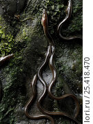 European eel (Anguilla anguilla) elvers climbing a rock wall while migrating upstream. Hennlan bridge, Wales. Стоковое фото, фотограф SINCLAIR STAMMERS / Nature Picture Library / Фотобанк Лори