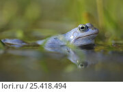 Moor frog (Rana arvalis) male in water, Germany. Стоковое фото, фотограф Solvin Zankl / Nature Picture Library / Фотобанк Лори
