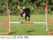 Купить «Mixed Breed Dog wearing a harness, jumping over a hurdle / jump», фото № 25418786, снято 20 июля 2018 г. (c) Nature Picture Library / Фотобанк Лори