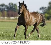 Купить «Liver chestnut thoroughbred gelding trotting in paddock, Longmont, Colorado, USA», фото № 25418870, снято 19 августа 2018 г. (c) Nature Picture Library / Фотобанк Лори