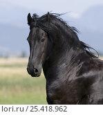 Купить «Black Friesian gelding, Longmont, Colorado, USA», фото № 25418962, снято 19 августа 2018 г. (c) Nature Picture Library / Фотобанк Лори