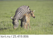 Common Zebra {Equus quagga} adult and young, Ngorongoro Conservation Area, Tanzania. Стоковое фото, фотограф Nature Production / Nature Picture Library / Фотобанк Лори