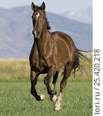Купить «Liver Chestnut gelding running in field, Longmont, Colorado, USA», фото № 25420218, снято 16 августа 2018 г. (c) Nature Picture Library / Фотобанк Лори