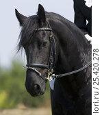 Купить «Black Friesian gelding, Longmont, Colorado, USA, model released», фото № 25420278, снято 19 августа 2018 г. (c) Nature Picture Library / Фотобанк Лори