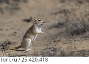 Купить «Giant / Mongolian gerbil (Meriones unguiculatus), alert in the Chinese desert. September 2006», фото № 25420418, снято 20 января 2018 г. (c) Nature Picture Library / Фотобанк Лори