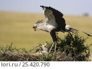 Secretary bird {Sagittarius serpentarius} adult brings prey to chick in nest, East Africa. Стоковое фото, фотограф Anup Shah / Nature Picture Library / Фотобанк Лори
