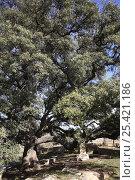 Seats in the shade of a Holm oak tree (Quercus ilex) La Romana, Alicante, Spain. Стоковое фото, фотограф Jose B. Ruiz / Nature Picture Library / Фотобанк Лори