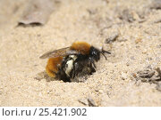 Tawny Mining Bee (Andrena fulva) female arriving back at her burrow with full pollen sacs. Surrey, UK. Стоковое фото, фотограф Kim Taylor / Nature Picture Library / Фотобанк Лори