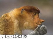 Proboscis Monkey (Nasalis larvatus) female eating, Bako National Park, Sarawak, Borneo. Стоковое фото, фотограф Nick Garbutt / Nature Picture Library / Фотобанк Лори