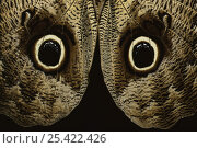 Купить «Close up of eye markings on wings of Owl butterfly {Caligo illioness}», фото № 25422426, снято 14 августа 2018 г. (c) Nature Picture Library / Фотобанк Лори
