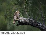Ferruginous Pygmy-Owl {Glaucidium brasilianum} adult with lizard prey, Rio Grande Valley, Texas, USA, May. Стоковое фото, фотограф Rolf Nussbaumer / Nature Picture Library / Фотобанк Лори