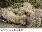 Купить «Cheetah {Acinonyx jubatus} 9-day cubs curled up in nest, Masai Mara Reserve, Kenya», фото № 25423490, снято 7 июля 2020 г. (c) Nature Picture Library / Фотобанк Лори