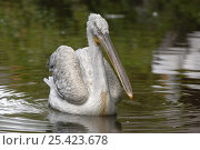 Купить «Dalmatian pelican (Pelecanus crispus) on water, captive, endangered species», фото № 25423678, снято 23 мая 2019 г. (c) Nature Picture Library / Фотобанк Лори