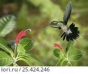 Купить «RF- Green Hermit (Phaethornis guy) approaching flower with curved corolla matching the bird's bill. Digital composite, Trinidad.», фото № 25424246, снято 23 июля 2019 г. (c) Nature Picture Library / Фотобанк Лори