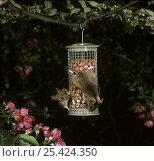 Купить «Yellow-necked Mice (Apodemus flavicollis) feeding on peanut bird feeder at night. Surrey, UK», фото № 25424350, снято 24 октября 2018 г. (c) Nature Picture Library / Фотобанк Лори