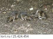 Купить «Brown Rats (Rattus norvegicus) scavenging for seeds beneath a bird table. Digital composite, Surrey, UK», фото № 25424454, снято 16 октября 2018 г. (c) Nature Picture Library / Фотобанк Лори