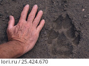 Купить «Grey wolf footprint {Canis lupus} beside man's hand for size comparison, Alaska, USA», фото № 25424670, снято 20 августа 2018 г. (c) Nature Picture Library / Фотобанк Лори