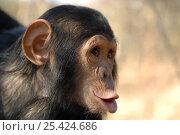 Купить «Chimpanzee {Pan troglodytes} juvenile vocalising, captive, Chimfunshi wildlife orphanage, Zambia Not available for ringtone/wallpaper use.», фото № 25424686, снято 16 июля 2018 г. (c) Nature Picture Library / Фотобанк Лори