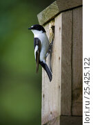 Купить «Pied Flycatcher (Ficedula hypoleuca) male, showing BTO (British Trust for Ornithology) ring, at entrance to nest box, Wales», фото № 25425122, снято 23 июля 2018 г. (c) Nature Picture Library / Фотобанк Лори