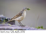 Купить «American / Buff bellied Pipit {Anthus rubescens}adult with insect prey, Glacier National Park, Montana, USA, July», фото № 25425370, снято 25 сентября 2018 г. (c) Nature Picture Library / Фотобанк Лори