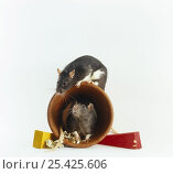 Купить «Two Rats {Rattus sp} playing on a flower pot (the flowerpot is used as a nest box, the coloured wedges are for gnawing)», фото № 25425606, снято 16 октября 2018 г. (c) Nature Picture Library / Фотобанк Лори