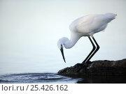 Купить «Little egret {Egretta garzetta} at waters edge hunting sequence 3/3, Donana NP, Sevilla, Spain», фото № 25426162, снято 5 июля 2020 г. (c) Nature Picture Library / Фотобанк Лори