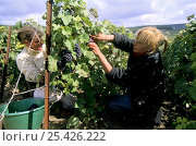 Купить «Women harvesting Pinot noir grapes during autumn, Chouilly, Côte de Blancs vineyard, Champagne country, France», фото № 25426222, снято 24 мая 2018 г. (c) Nature Picture Library / Фотобанк Лори