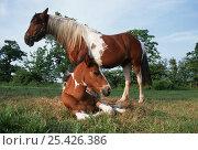 Купить «Domestic horse, skewbald mare and foal (Equus caballus). UK.», фото № 25426386, снято 16 августа 2018 г. (c) Nature Picture Library / Фотобанк Лори