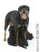 Rottweiler bitch yawning as she suckles her three pups. Стоковое фото, фотограф Jane Burton / Nature Picture Library / Фотобанк Лори