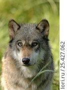 Купить «Grey wolf (Canis lupus), captive France captive, France», фото № 25427062, снято 20 февраля 2020 г. (c) Nature Picture Library / Фотобанк Лори
