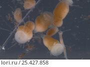 Купить «Oceanic box jellyfish (Alatina mordens) larvae, Australia», фото № 25427858, снято 26 сентября 2018 г. (c) Nature Picture Library / Фотобанк Лори