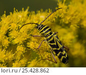Купить «Locust Borer {Megacyllene robiniae} feeding on Goldenrod, Pennsylvania, USA», фото № 25428862, снято 28 мая 2018 г. (c) Nature Picture Library / Фотобанк Лори