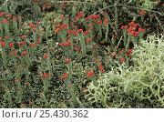 Купить «Lichens {Cladonia floerkeana} and {Cladonia portentosa} with fruiting bodies, Dorset, UK», фото № 25430362, снято 17 августа 2018 г. (c) Nature Picture Library / Фотобанк Лори