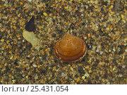 Купить «Clam {Sphaerium japonicum} Wakayama, Japan», фото № 25431054, снято 18 марта 2018 г. (c) Nature Picture Library / Фотобанк Лори