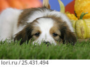 Купить «Domestic dog, Small Dutch Waterfowl Dog / Kooikerhondje / Kooiker Hound puppy lying down, 7 weeks», фото № 25431494, снято 16 октября 2018 г. (c) Nature Picture Library / Фотобанк Лори