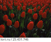 Купить «Field of cultivated red Tulips {Tulipa Genus} growing in the gardens at Keukenhof, The Netherlands, Europe», фото № 25431746, снято 19 августа 2018 г. (c) Nature Picture Library / Фотобанк Лори