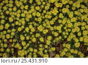 Купить «Saxifrage plant {Chrysosplenium pilosum} Ussuriland, Primorskiy, Far east  Russia», фото № 25431910, снято 19 июля 2018 г. (c) Nature Picture Library / Фотобанк Лори