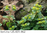 Купить «Golden saxifrage {Chrysosplenium oppositifolium} in flower aside fallen leaves and mossy rock, Lancashire, UK», фото № 25431962, снято 18 октября 2018 г. (c) Nature Picture Library / Фотобанк Лори