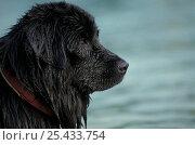 Купить «Domestic dog - black Newfoundland dog near water», фото № 25433754, снято 23 апреля 2018 г. (c) Nature Picture Library / Фотобанк Лори
