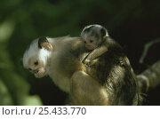 Купить «Satare maues marmoset carrying baby on back(Callithrix mauesi satare) Amazonia, Brazil», фото № 25433770, снято 17 ноября 2019 г. (c) Nature Picture Library / Фотобанк Лори